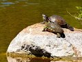 Turtles on rock two together big Royalty Free Stock Images