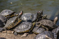 Turtles in the sun group of stacked sunbathing beside lake located madrid s retiro park Royalty Free Stock Photos