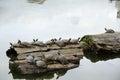 Turtles sunbathing on wood Royalty Free Stock Photo