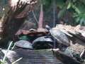 Turtles sunning themselves at the chicago aquarimum Royalty Free Stock Image