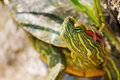 Turtles sunning themselves painted are omnivorous consuming a wide variety of aquatic animals and plants Stock Image