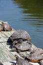 Turtles taking a sunbath and one large turtle looking into the camera Royalty Free Stock Images