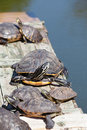 Turtles taking a sunbath on wooden platform Royalty Free Stock Photos