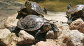 Turtles three sunbathing on the rock Stock Image