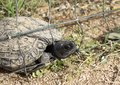 Turtles trapped in fence