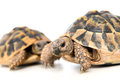 Turtles two in front of white background Stock Images