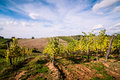 Tuscan grapevine countryside landscape Stock Images
