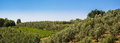 The tuscan hills countryside with of olive trees and vines Royalty Free Stock Photography