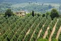 Tuscan olive trees Royalty Free Stock Photo