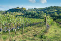 Tuscan vineyard early autumn with row of grapes Royalty Free Stock Photo