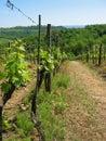 Tuscan vineyard in springtime Royalty Free Stock Photo