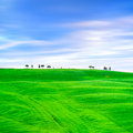 Tuscany cypress trees and green fields san quirico orcia italy country landscape europe Stock Image