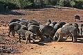 Tuscany, Italy: breed of typical pig Cinta Senese