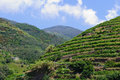 Tuscany Italy Mountain Vineyard Royalty Free Stock Image
