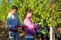 A young man and a girl gather grapes in a vineyard. Harvesting in Tuscany Royalty Free Stock Photo