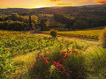Tuscany italy vineyard in during the october grape harvest Stock Images
