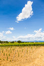 Tuscany wineyard italy region orcia valley a youg during a sunny day Royalty Free Stock Image