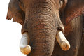 Tusks, Elephant Asian, or Indian Stock Photography