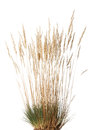 Tussock of dry grass with panicle Royalty Free Stock Photo