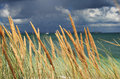 Tussock grass at stormy beach Stock Photo