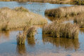 Tussock growing in marshes clumps of Royalty Free Stock Image
