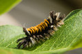 Tussock milkweed caterpillar x lymantriidae family x closeup on plant Stock Photos