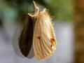 Tussock Moth Royalty Free Stock Photo