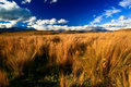 Tussock in wind Royalty Free Stock Photo