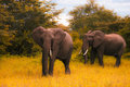 Tw  big elephants walks and grazes in the South African bushes. Royalty Free Stock Photo