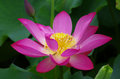 Twain pink water lily flower lotus and white background the is national for india is a Stock Image