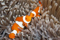 Twee Clown Anemonefish Royalty-vrije Stock Foto's