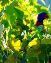 Twenty eight parrot a grape snack Royalty Free Stock Photo