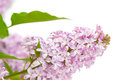 Twig blossoming lilac with green leaves isolated on white background Royalty Free Stock Photography