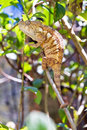 Twig chameleon Royalty Free Stock Photo