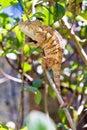 Twig chameleon Royalty Free Stock Photo