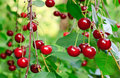 Twig of cherry-tree with red cherries Royalty Free Stock Photo