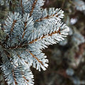 Twig of conifer a closeup the a Stock Photo