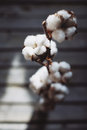 Twig of cotton Royalty Free Stock Photo
