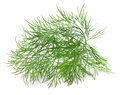 Twig of dill single fresh green on white background Stock Image