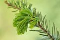 Twig of fir with young needles macro on green background Royalty Free Stock Photography