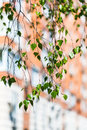 Twig of green birch tree and apartment house Royalty Free Stock Photo