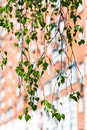 Twig of green birch tree and urban house Royalty Free Stock Photo