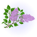Twig Lilac with flowers and leaves vintage hand draw natural background vector