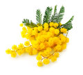 Twig of mimosa flowers Stock Photography