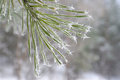 Twig of pine hoar frost covered shallow dof Stock Photo