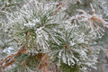 Twig of pine hoar frost covered shallow dof Royalty Free Stock Image