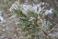 Twig of pine hoar frost covered shallow dof Stock Image