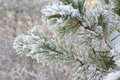 Twig of pine hoarfrost covered shallow dof Stock Photos