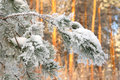 Twig of pine hoarfrost covered shallow dof Stock Photo