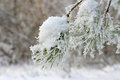 Twig of pine snow covered shallow dof Royalty Free Stock Photos